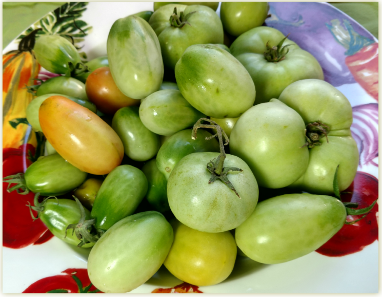 Fresh green tomatoes from the garden!